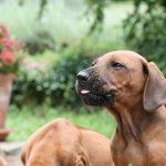 Hundebild von mehreren Ridgebacks Welpen