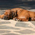 Süßes Hundebild von einem Ridgeback