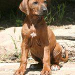 Süßes Hundebild von einem Ridgeback Welpen