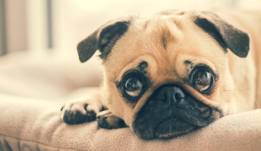 Was Sie tun können, wenn Ihr Hund Trennungsangst hat