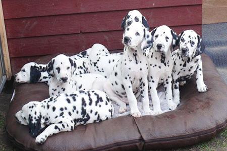 Süße Hunde auf Hundekissen